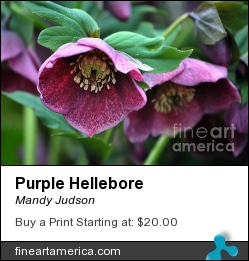 Purple Hellebore by Mandy Judson - Photograph - Photograph