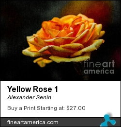 Yellow Rose 1 by Alexander Senin - Photograph