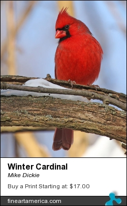 Winter Cardinal by Mike Dickie - Photograph