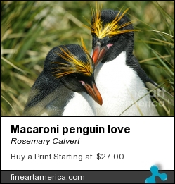 Macaroni Penguin Love by Rosemary Calvert - Photograph - Photography
