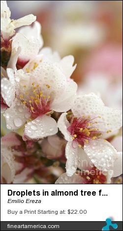 Droplets In Almond Tree Flowers. by Emilio Ereza - Photograph - Photographs