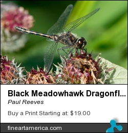 Black Meadowhawk Dragonfly by Paul Reeves - Photograph