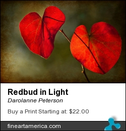 Redbud In Light by Darolanne Peterson - Photograph - Photography