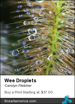 Wee Droplets by Carolyn Fletcher - Photograph - Photography