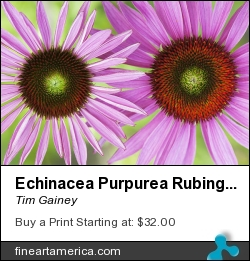 Echinacea Purpurea Rubinglow Pattern by Tim Gainey - Photograph - Photograph
