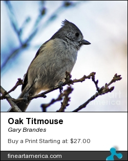 Oak Titmouse by Gary Brandes - Photograph - Photography