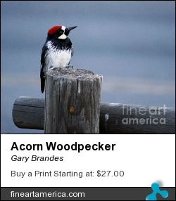 Acorn Woodpecker by Gary Brandes - Photograph - Photography