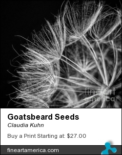 Goatsbeard Seeds by Claudia Kuhn - Photograph - Photography