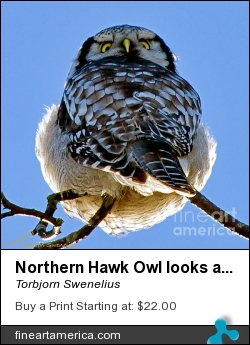 Northern Hawk Owl Looks Around by Torbjorn Swenelius - Photograph - Photography