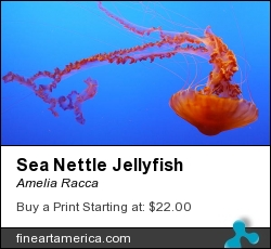 Sea Nettle Jellyfish by Amelia Racca - Photograph - Photography