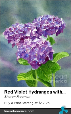 Red Violet Hydrangea With Blackground by Sharon Freeman - Painting - Watercolor On Paper