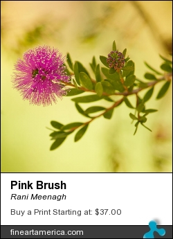 Pink Brush by Rani Meenagh - Photograph - Photography