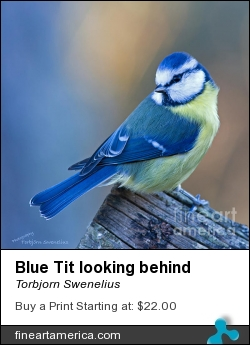 Blue Tit Looking Behind by Torbjorn Swenelius - Photograph - Photography