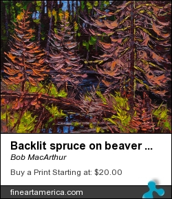 Backlit Spruce On Beaver Pond by Bob MacArthur - Painting - Oil On Canvas