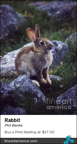 Rabbit by Phil Banks - Photograph
