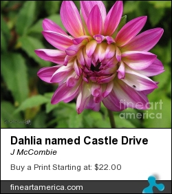 Dahlia Named Castle Drive by J McCombie - Painting - Photographic