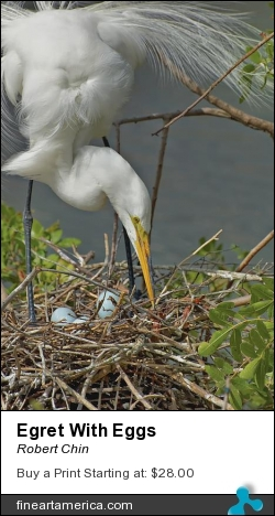 Egret With Eggs by Robert Chin - Photograph - Photographs