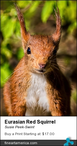 Eurasian Red Squirrel by Susie Peek-Swint - Photograph