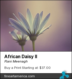 African Daisy II by Rani Meenagh - Photograph - Photography