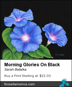 Morning Glories On Black by Sarah Batalka - Painting - Prismacolor Colored Pencil