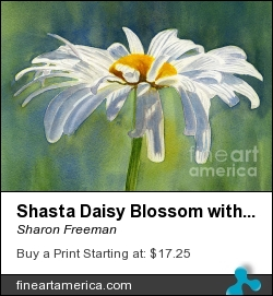 Shasta Daisy Blossom With Blue Background by Sharon Freeman - Painting - Watercolor On Paper
