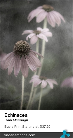 Echinacea by Rani Meenagh - Photograph - Photography