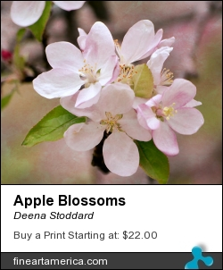 Apple Blossoms by Deena Stoddard - Photograph - Photograph