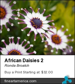 African Daisies 2 by Ronda Broatch - Photograph - Photography