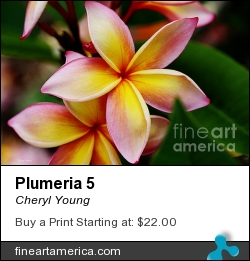 Plumeria 5 by Cheryl Young - Photograph - Photography