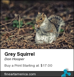 Grey Squirrel by Don Hooper - Photograph - Photography