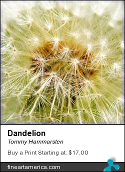 Dandelion by Tommy Hammarsten - Mixed Media - Photographs And Oil Paints In Digital Art