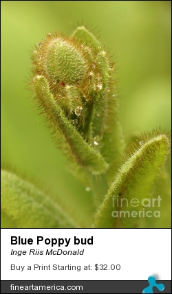 Blue Poppy Bud by Inge Riis McDonald - Photograph - Photography