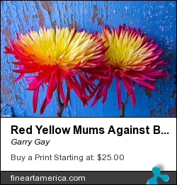 Red Yellow Mums Against Blue Wall by Garry Gay - Photograph