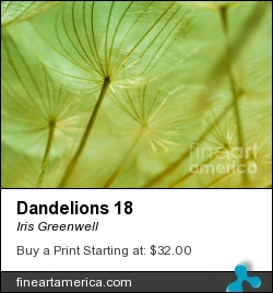 Dandelions 18 by Iris Greenwell - Photograph - Photography