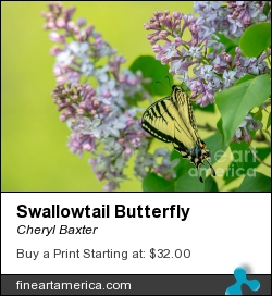 Swallowtail Butterfly by Cheryl Baxter - Photograph - Photography