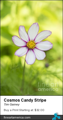 Cosmos Candy Stripe by Tim Gainey - Photograph - Photograph