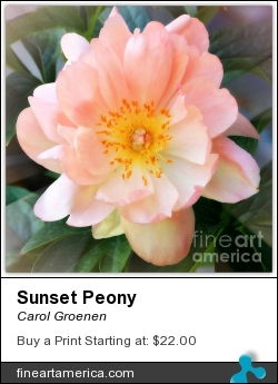 Sunset Peony by Carol Groenen - Photograph - Photography - Digital Art