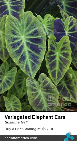 Variegated Elephant Ears by Suzanne Gaff - Photograph - Photograph,giclee Print, Canvas Print, Fine Art Print, Greeting Card, Poster