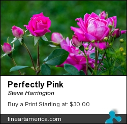 Perfectly Pink by Steve Harrington - Photograph - Photography