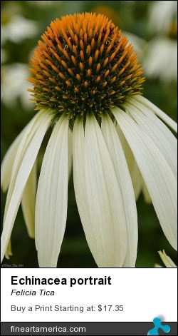 Echinacea Portrait by Felicia Tica - Photograph - Photography