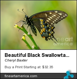 Beautiful Black Swallowtail by Cheryl Baxter - Photograph - Photography