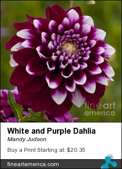 White And Purple Dahlia by Mandy Judson - Photograph - Photograph
