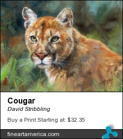 Cougar by David Stribbling - Painting - Oil On Canvas