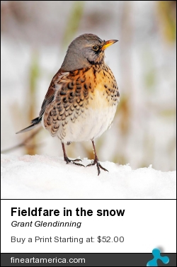 Fieldfare In The Snow by Grant Glendinning - Photograph - Photography