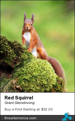 Red Squirrel by Grant Glendinning - Photograph - Photograph