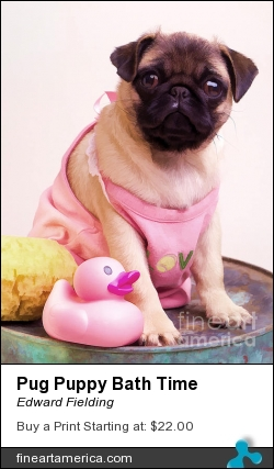 Pug Puppy Bath Time by Edward Fielding - Photograph