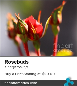 Rosebuds by Cheryl Young - Photograph - Photography