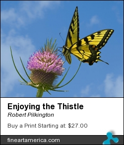 Enjoying The Thistle by Robert Pilkington - Photograph - Photography