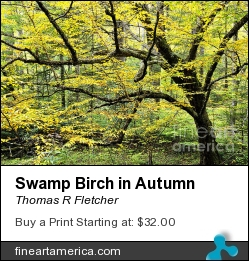 Swamp Birch In Autumn by Thomas R Fletcher - Photograph - Photography