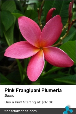 Pink Frangipani Plumeria by Baato - Photograph - Digital Photos And Art